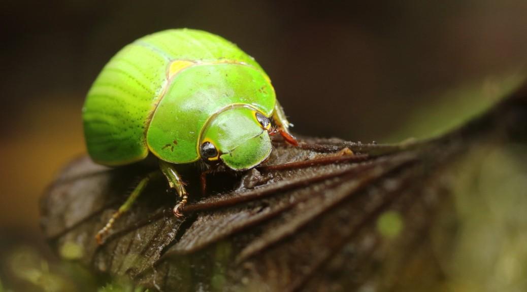 A Chrysina beraudi - Green Scarab Beetle