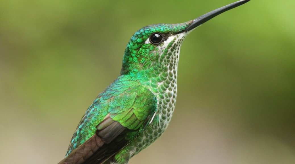 A female Green-crowned Brilliant