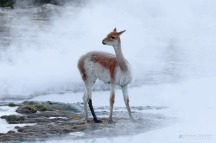 A Vicuña in the mist
