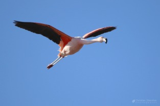 An Andean flamingo in flight